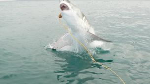 Shark Diving-Gansbaai-Cage diving with great white sharks in Gansbaai-2