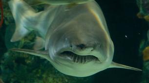 Shark Diving-Durban-Raggie diving excursion in Kwazulu Natal-6