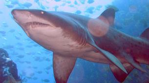 Shark Diving-Durban-Raggie diving excursion in Kwazulu Natal-3