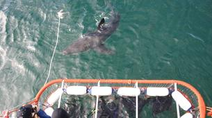 Shark Diving-Gansbaai-Cage diving with great white sharks, Gansbaai-4