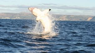 Shark Diving-Gansbaai-Cage diving with great white sharks, Gansbaai-1