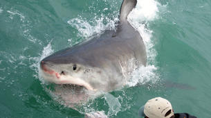 Shark Diving-Gansbaai-Cage diving with great white sharks, Gansbaai-3