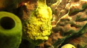 Plongée sous-marine-Les Anses-d'Arlet-Plongée Exploration à Les Anses-d'Arlet, Martinique-5