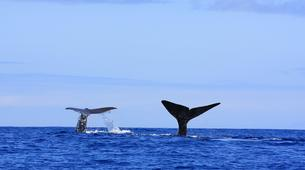 Wildlife Experiences-Pico-Whale Watching Excursion from Lajes de Pico in Pico Island-1