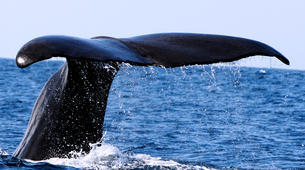 Wildlife Experiences-Pico-Whale Watching Excursion from Lajes de Pico in Pico Island-4