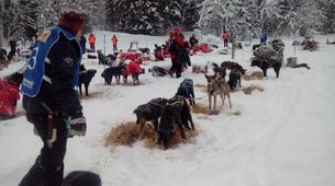 Dog sledding-Kiruna-Morning Dog sledding Tour, near Kiruna-5