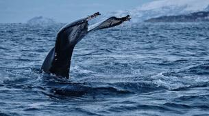 Wildlife Experiences-Tromsø-Whale Watching Safari & Fjord Cruise from Tromso-5
