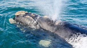 Tierwelt Abenteuer-Hermanus-Whale watching trip from Hermanus-5