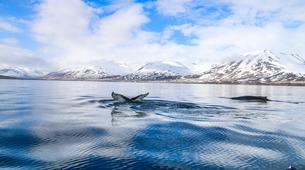 Wildlife Experiences-Dalvík-Whale Watching from Dalvík, North of Iceland-5