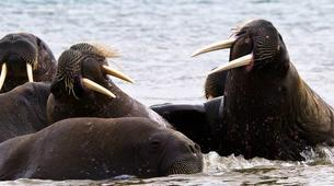 Wildlife Experiences-Svalbard-Speed Boat Trip to a Walrus Colony on Svalbard-3