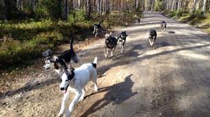 Dog sledding-Rovaniemi-Husky cart excursion from Rovaniemi-4