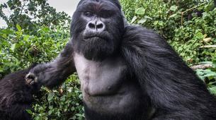 Randonnée / Trekking-Volcanoes National Park-Gorilla Trekking in Volcanoes National Park-3