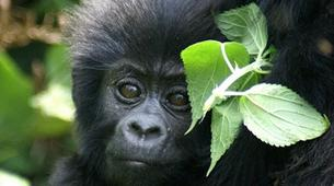 Randonnée / Trekking-Volcanoes National Park-Gorilla Trekking in Volcanoes National Park-4