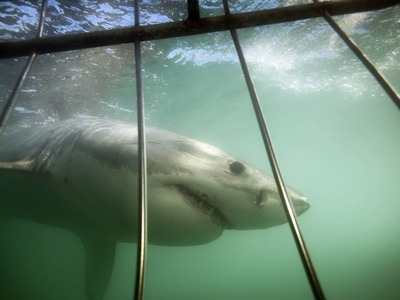 White shark cage diving in Mossel Bay