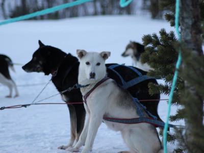 Dog sledding day excursion in Tromsø