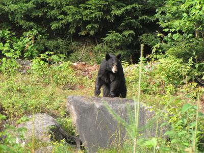 Black bear watching near Québec city