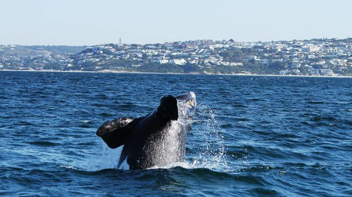 Wildlife Experiences-Plettenberg Bay-Whale watching excursion in Plettenberg bay-4