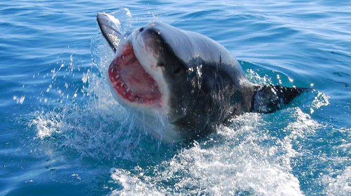 Shark Diving-Gansbaai-Cage diving with great white sharks, Gansbaai-6