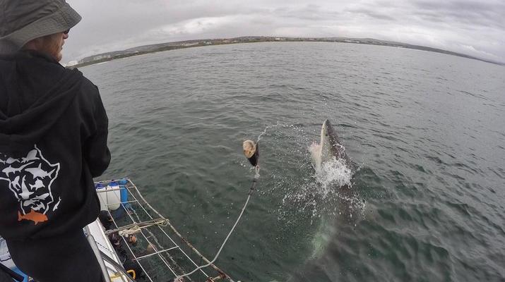 Shark Diving-Mossel Bay-White shark cage diving in Mossel Bay-4