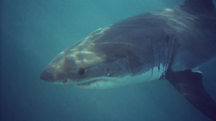 Shark Diving-Gansbaai-Cage diving with great white sharks, Gansbaai-5