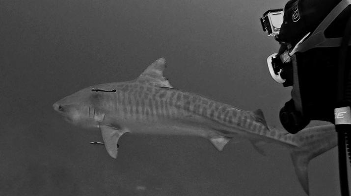 Shark Diving-Durban-Tiger shark diving excursion near Durban-2