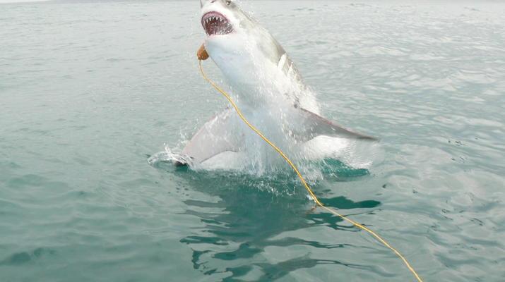 Shark Diving-Gansbaai-Cage diving with great white sharks, Gansbaai-8