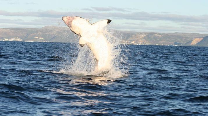 Shark Diving-Gansbaai-Cage diving with great white sharks, Gansbaai-1