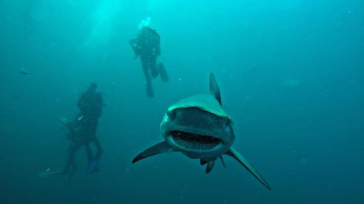 Shark Diving-Durban-Tiger shark diving excursion near Durban-3