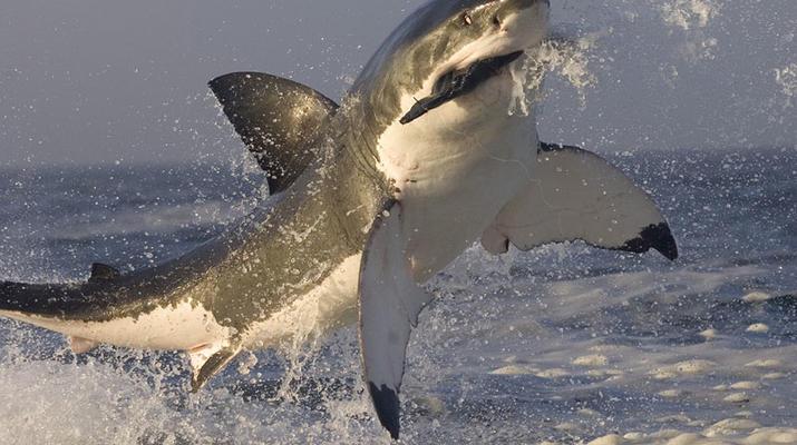 Shark Diving-Gansbaai-Cage diving with great white sharks, Gansbaai-4