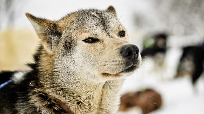 Dog sledding-Tromsø-Arctic morning dog sledding excursion in Tromsø-2