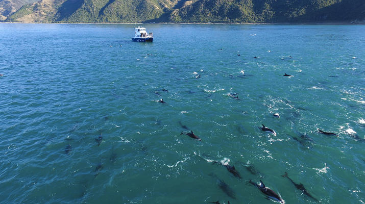 Wildlife Experiences-Kaikoura-Swimming with Dolphins in Kaikoura-2
