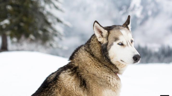 Trineo de perros-Avoriaz, Portes du Soleil-Clase de prueba de trineo con perros en Avoriaz, Portes du Soleil-5