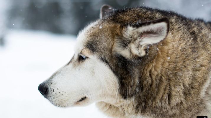 Trineo de perros-Avoriaz, Portes du Soleil-Clase de prueba de trineo con perros en Avoriaz, Portes du Soleil-7