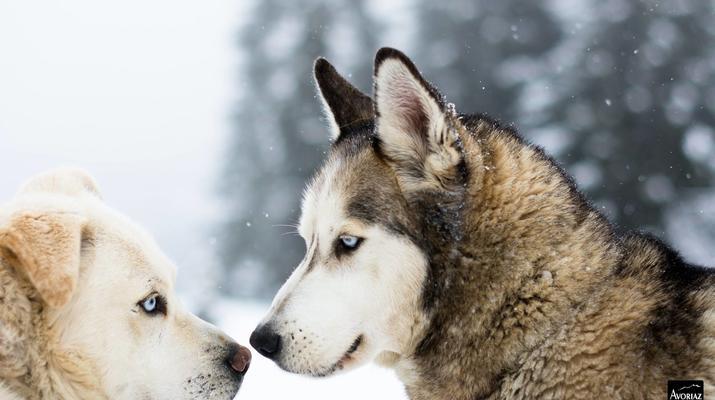 Trineo de perros-Avoriaz, Portes du Soleil-Clase de prueba de trineo con perros en Avoriaz, Portes du Soleil-3