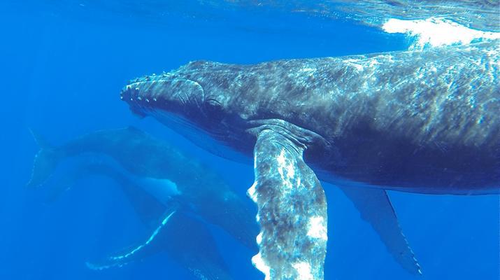 Experiences Wildlife-Bora Bora-Excursion nage et rencontre avec les baleines à Bora Bora-5