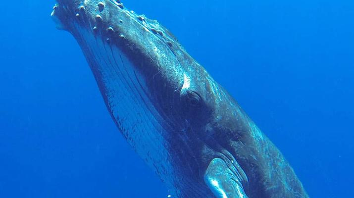 Experiences Wildlife-Bora Bora-Excursion nage et rencontre avec les baleines à Bora Bora-2