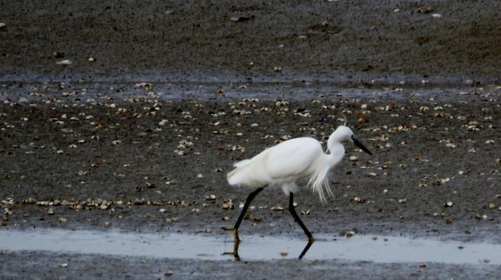 Randonnée / Trekking-Baie de Somme-Randonnée guidée, découverte des oiseaux et phoques en Baie en Somme-4