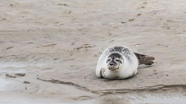 Randonnée / Trekking-Baie de Somme-Randonnée guidée et découverte des phoques en Baie de Somme-1